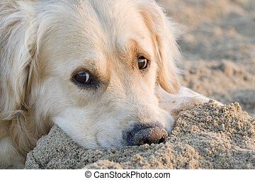 Golden retriever laying on the sand