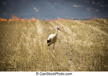 White Stork walking in the burning field