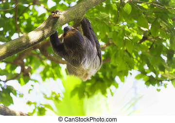 Two-toed Sloth - A Two-toed Sloth climbing down the tree in...