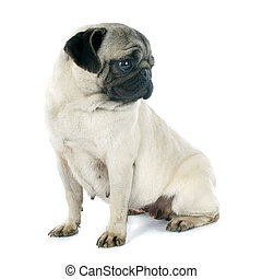 young pug in front of white background