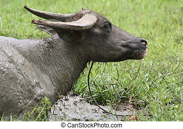 Carabao WB-1267 - The carabao Bubalus bubalis carabanesis is...