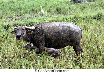 Carabao WB-1420 - The carabao Bubalus bubalis carabanesis is...