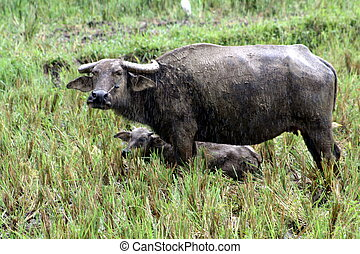 Carabao WB-1419 - The carabao Bubalus bubalis carabanesis is...