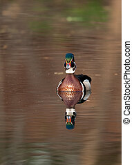Wood duck on a pond - A wood duck is reflected in the water...