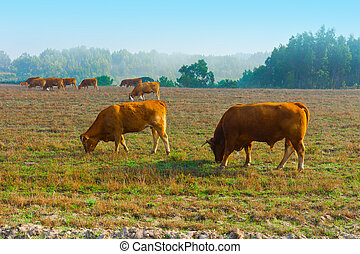 Cows and Bulls Grazing on Meadows in Portugal