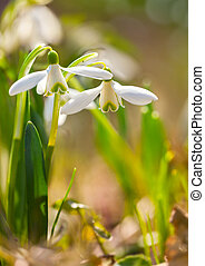 Snowdrop flowers (Galanthus nivalis) in the spring forest