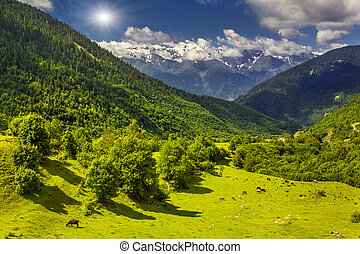 Cattle on pasture in summer Caucasus Mountains