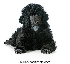 standard poodle puppy laying down isolated on white...