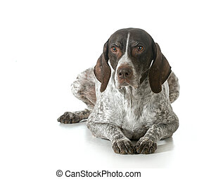 senior dog - german shorthaired pointer isolated on white...