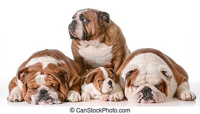 Bulldog, familia