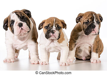 bulldog puppies looking at viewer - 8 weeks old