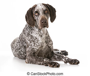 german shorthaired pointer laying down isolated on white...