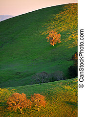 Oak tree lit by the sunset - Oak tree against the sunset in...