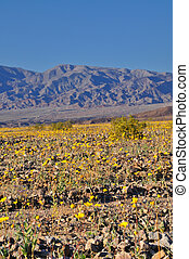 Death Valley in spring - Wildflowers in Death Valley in the...