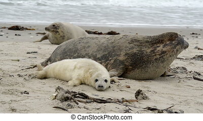 female grey seal wth pup close