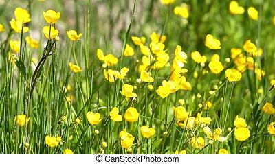 Yellow flowers (Ranunculales)