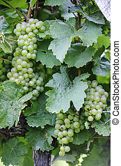 Riesling Grapes Close-up with leafes