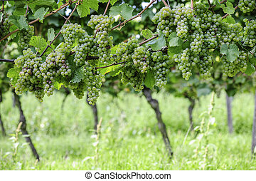 Riesling Vineyard with ripe grapes