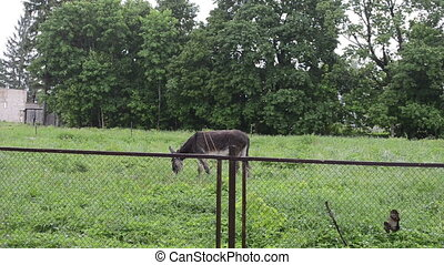 donkey graze woman rain - Donkey graze in meadow over fence...
