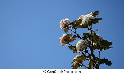 viburnum blooms sky blue - viburnum snowball white bush...