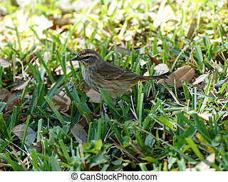 Palm Warbler in Grass during winter in Florida