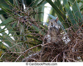 Squirrel Eating Fruit from Cabbage Palm - Squirrel eating...