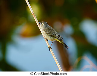 Perching Palm Warbler - Palm Warbler perched on the stem of...