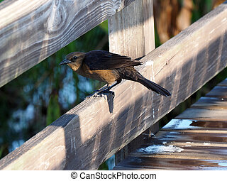 Female Boat-Tailed Grackle on Fence