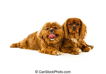 King Charles Cavalier dogs isolated on a white background