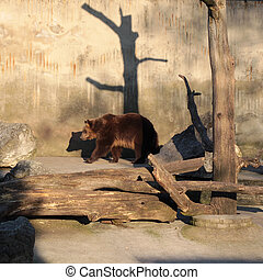 Brown bear walks in its area at the zoo