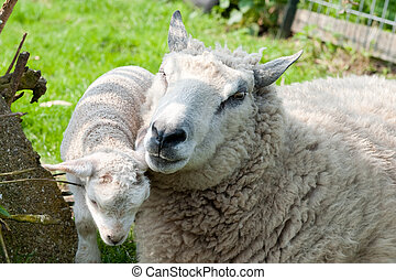 Sheep with lamb - Sheep with little lamb in the grass