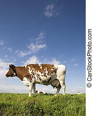 Dutch cow - Portrait of a  Dutch cow
