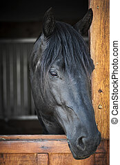 Horse in stable - Head shot of a black horse looking out...