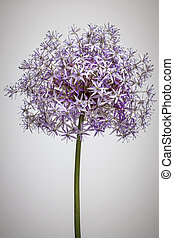 Flowering onion flower - Pink and purple flowering onion...