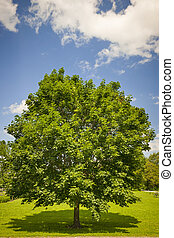 Maple tree in summer field - Large single maple tree on...