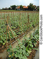 farm land - traditional farm land that planted with cucumber