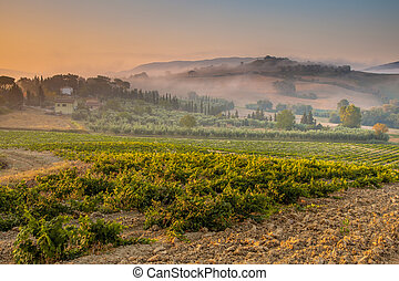 Young Chianti Vineyard in Tuscan Countryside, Italy -...