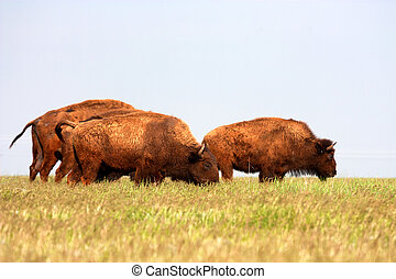 Bisons American Buffalo are grazing in prairie