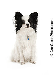 Papillion dog isolated on a white background