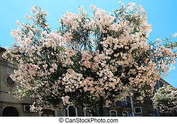 Pink Oleander Tree - a pink oleander tree