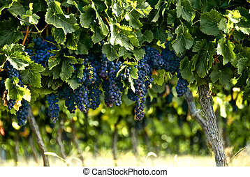 Bunches of french red wine grapes - Red grapes growing on...