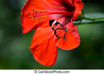 Glasswinged Butterfly (Greta oto) on a red Hibiscus