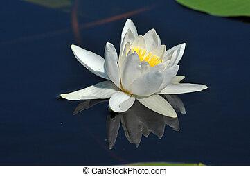 Water lily in the Danube delta, Romania