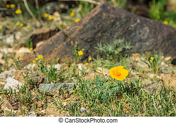 DesertFlower - yellow desert flower in the rocks of Phoenix...