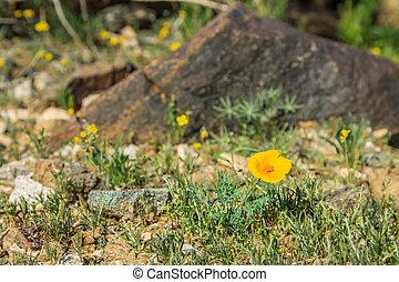DesertFlower - yellow desert flower in the rocks of Phoenix...