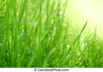 Morning Dew - Fresh morning dew on the green grass in...