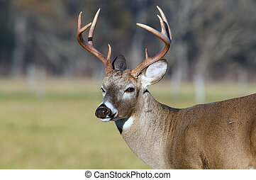 Whitetail deer buck standing in a meadow