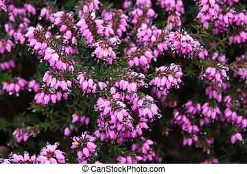 blooming heather on a spring day