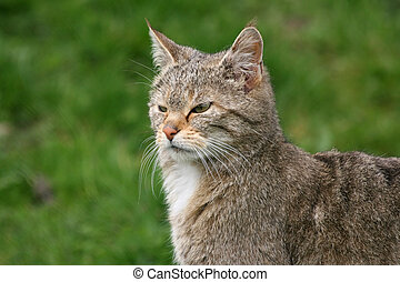 close-up of a european wildcat
