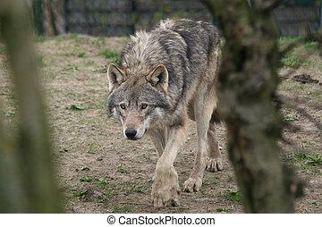 lupo, caccia